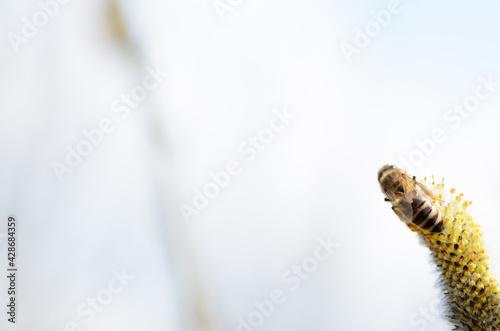 Obraz pszczoła na kwiecie wierzby - fototapety do salonu