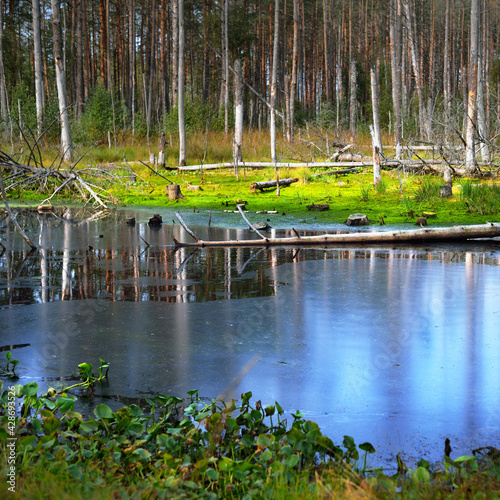 A small swamp (lake) in the evergreen forest. Mossy tree logs, plants close-up. Northern woodland. Fallen trees after hurricane. Tranquil landscape. Ecology, ecosystems, environmental conservation