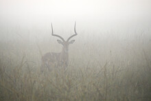 Male Impala Standing In Long Grass On A Misty Morning, Masai Mara Game Reserve, Kenya