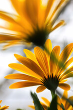 Vertical Of Yellow Translucent African Daisies Blooming