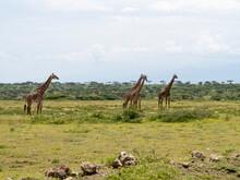 Serengeti National Park, Tanzania, Africa - March 1, 2020: Giraffes Walking Across The Savannah