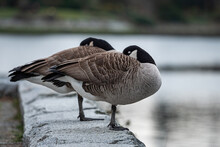 Two Canada Geese Resting On The Shore Line By The River Having Their Heads Hiding Inside The Feather On The Wings