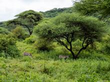 Lake Manyara, Tanzania, Africa - March 2, 2020: Zebras Under Tree