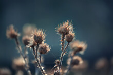 Dry Thistle In The Web.Cirsium, Carduus, Onopordum.Dried Flowers After Winter In Spring.Abstract Background With Selective Focus