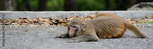 Fotografia, Obraz A monkey that is lying on the ground. High quality photo