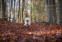 Small West Highland White Terrier Runs Through The Autumn Forest