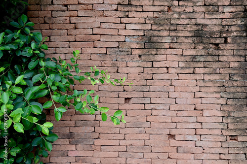 Fototapeta Green Creeper Plant on Red brick wall for texture and backgrounds