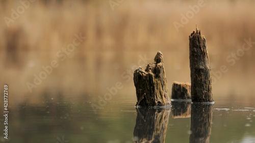 Fototapeta Drewniane pieńki nad stawem obraz