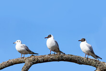 Three Black-headed Gulls, Two Breeding Adults And A Juvenile, Perched On A Tree Branch