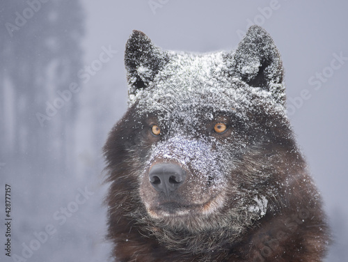 Portrait of a black canadian wolf