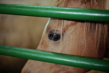 Portrait Of A Brown Horse Behind The Green Bars Of The Stable In An Equestrian Center