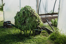 Heap Of In A Vegetable Cuttings On A Wheelbarrow In A Poly Tunnel.