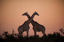 Two Giraffe, Giraffa Giraffa, Silhouetted Against The Sunset, Necks Crossing.