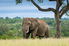 An Elephant, Loxodonta�africana, Walks Through Long Grass, Big Tusks.
