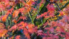 Autumn Leaves On Maple Trees, England, United Kingdom