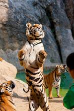 Tigers In Captivity, Panthera Tigris Corbetti
