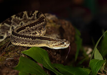 Rattlesnake Readies To Strike In The Jungles Of Costa Rica