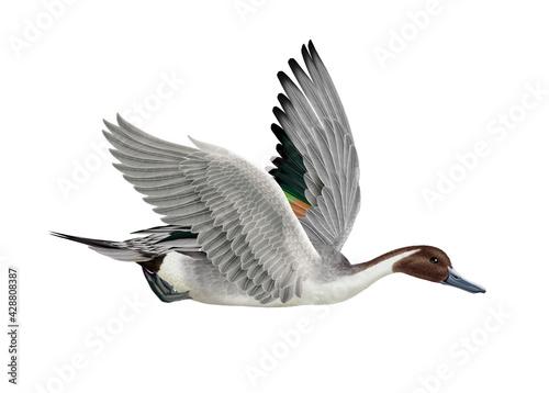 Valokuva canard, pilet, anas aile, vol, mâle, migration, isolé, nature, voyage, bec, eau,