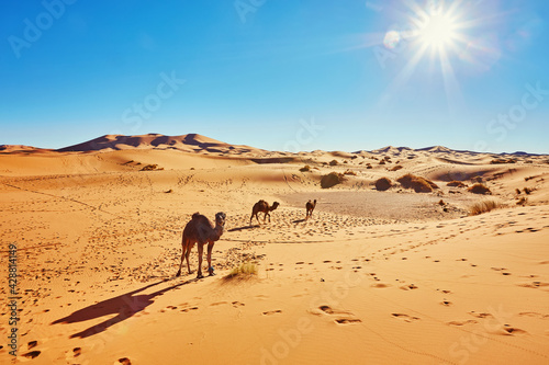 Camel in the Sahara desert in Morocco Fototapet