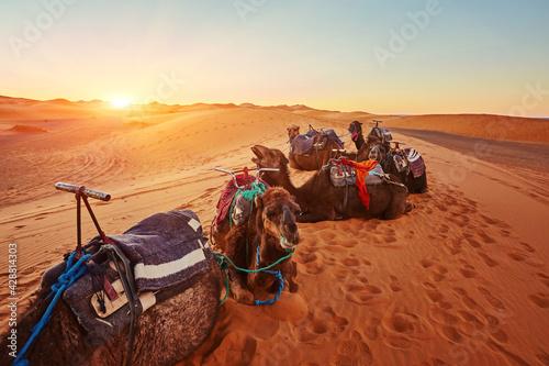 Tablou Canvas Camel in the Sahara desert in Morocco