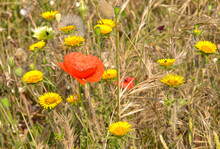 Poppy And Yellow Daisies Among Tall Grasses