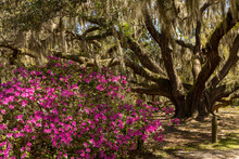 Huge Carolina Shores Oak Tree Filled With Spanish Moss Next To Pink Azaleas In Bloom.