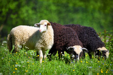 Sheeps In A Meadow On Green Grass. Sunny Summer Day