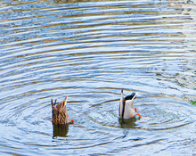 Duck Diving With Head Under Water, Bottom Up. Legs And Tail Stick Out Of The Water. Wild Ducks Swim And Search For Fish In Sync. They Put Their Heads Under The Water And Catch Food.