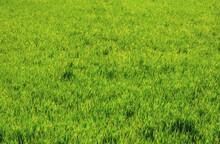 Background Texture Of A Grassy Field In The Bush