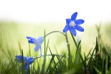 Tiny Blue Flower With Dew