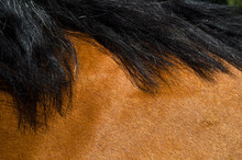 Close Up Of The Mane And Fur Of A Cold-blood Horse
