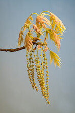 Emerging Spring Leaves And Pollen-producing Catkins Of A Northern Red Oak Tree (Quercus Rubra) In Central Virginia.