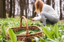 Woman Picking Wild Garlic (allium Ursinum) In Forest. Harvesting Ramson Leaves Herb Into Wicker Basket. Selective Focus