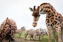 Giraffes And Zebras Closeup