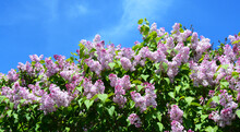 A Beautiful Blooming Syringa Vulgaris, Common Lilac Bush With Pink, Lavender Lush Flower Panicles Against The Blue Sky. Maiden's Blush Syringa, Lilac With Pale Pink Flowers.