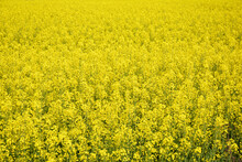 An Agricultural Field Of Yellow Blooming Rapeseed, Brassica Napus Plants. Yellow Blooming Rapeseed Flowers Background.
