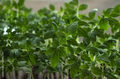 Tomato seedlings grow on the windowsill. Growing seedlings of vegetables at home, agriculture. Green background - fototapety na wymiar