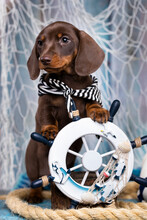 Dachshund Puppy Sailor And Sea Decorations