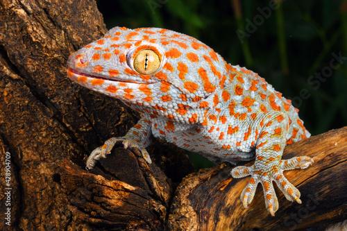 Photo Tokay Gecko (Gecko gecko). A colorful an aggressive Gecko.