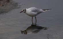Black-headed Gull (Chroicocephalus Ridibundus) A Single Black-headed Gull Standing And Reflected In The Water