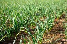 Plantation Of Organically Grown Garlic On A Vegetable Farm