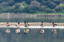 Canada Geese On The Waters Edge