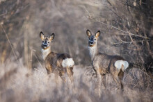 Roe Deers Standing In Tall Dry Grass