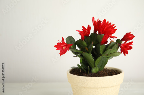 Obraz Beautiful red Schlumbergera (Christmas or Thanksgiving cactus) on light background. Space for text - fototapety do salonu