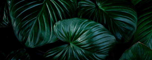 closeup nature view of colorful leaf background. Flat lay, nature banner concept, tropical leaf