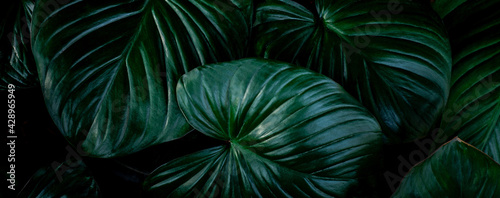 closeup nature view of colorful leaf background. Flat lay, nature banner concept, tropical leaf - fototapety na wymiar