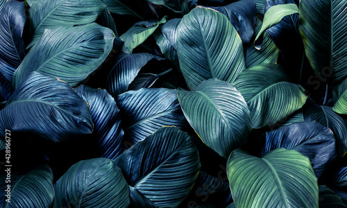 Fotografia leaves of Spathiphyllum cannifolium, abstract green texture, nature background,