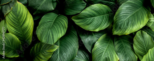 Fototapeta closeup nature view of colorful leaf background. Flat lay, nature banner concept, tropical leaf obraz