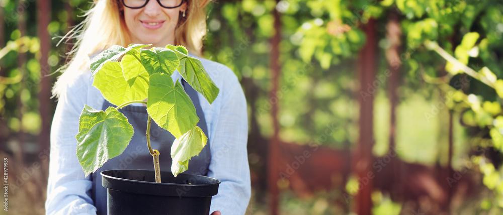 Fototapeta Paulownia tree in a pot close-up picture