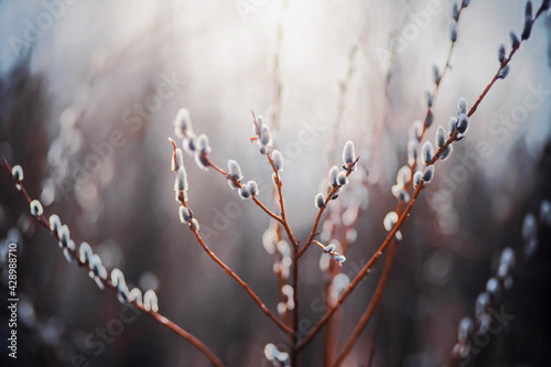 Fototapeta Beautiful fluffy willow buds on the thin branches of bushes bloom in the early sunny light spring. Palm Sunday. obraz